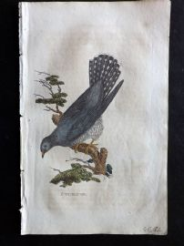 Brightly 1815 Antique Hand Col Bird Print. Cuckoo